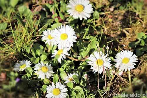 Stokrotki na trawie, ogródek, wiosna, piękno